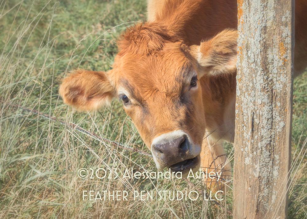 Holstein cow sporting soft, fluffy red fur, found on Amish farm in Holmes county, Ohio.