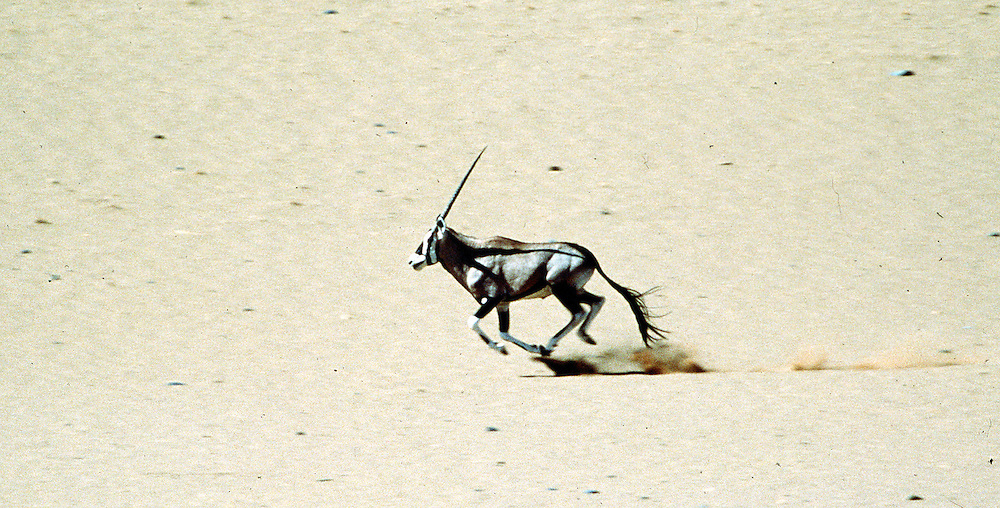 In Namibia,  Gemsbok gallops across the Namib Desert.
