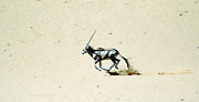 In Namibia,  Gemsbok gallops across the Namib Desert.