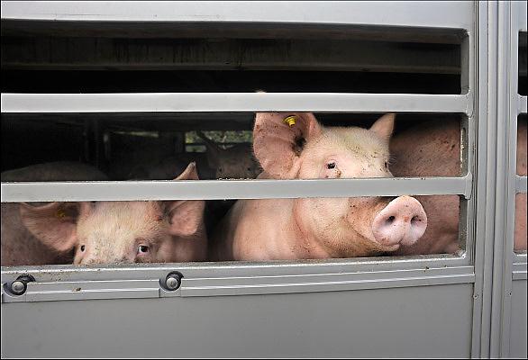 Nederland, Ubbergen, 7-5-2015Langs een doodlopende weg staat een aanhanger met varkens geparkeerd. Hij is weggezet door een transporteur om later verder vervoerd te worden naar zijn eindbestemming.The Netherlands. Pigs in a lorry, truck, on their way to the slaughterhouse.Foto: Flip Franssen/Hollandse Hoogte