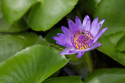 Nymphaea stellata or Nymphaea nouchali, is known in Sanskrit as utpala. Also called the red and blue water lily, Blue star water lily, or Star lotus...Buddhist lore in Sri Lanka claims that this flower was one of the 108 auspicious signs found on Prince Siddharthaa?EUR(TM)s footprint. It is thought to be a symbol of virtue, discipline and purity.