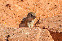 A white-tailed ground squirrel peeks out of its burrow among a pile of rocks in Southern Nevada. These tough little rodents live in very hot, dry environments, and get most of their moisture from their food which includes insects, seeds, fruits, cactus, grasses and even sometimes carrion.