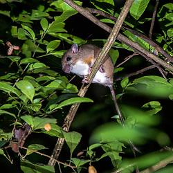 """""""Rato-da-árvore (Rhipidomys mastacalis) fotografado em Linhares, Espírito Santo -  Sudeste do Brasil. Bioma Mata Atlântica. Registro feito em 2014.<br /> <br /> <br /> <br /> ENGLISH: Atlantic Forest climbing mouse  photographed in Linhares, Espírito Santo - Southeast of Brazil. Atlantic Forest Biome. Picture made in 2014."""""""