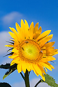 Bee pollinating a flowering sunflower in morning sun near Ryeford, Queensland, Australia <br />