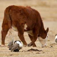 A cattle walks by as males Gunnison sage-grouse put on a display early in the morning during a springtime at Mill Creek Ranch in Gunnison, CO. Gunnison sage-grouse is now numbered about 2,500 birds found in Colorado and Utah.