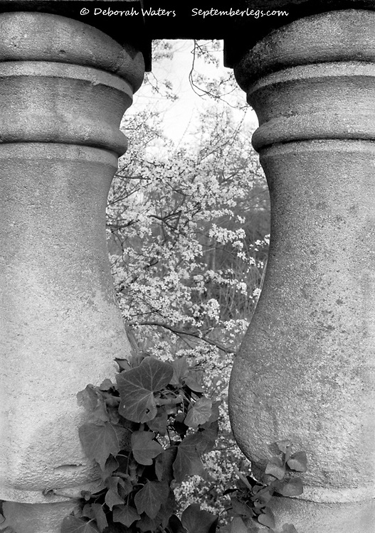 The curvatious urn shape cut out between two balustrade posts frames ivy and apple blossom, Magdalen Bridge architectural detail, Oxford, UK