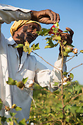 A farmer being trained how to cross pollinate cotton plants at Vasudha Organic Solution Centre, Jamniya, Madhya Pradesh, India.