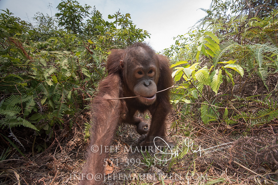 A juvenile Bornean orangutan, Pongo pygmaeus swings its arm as it walks along a path in Tanjung Puting in Borneo, Indonesia.