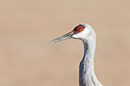 Bosque del Apache National Wildlife Refuge, New Mexico. Sandhill Crane