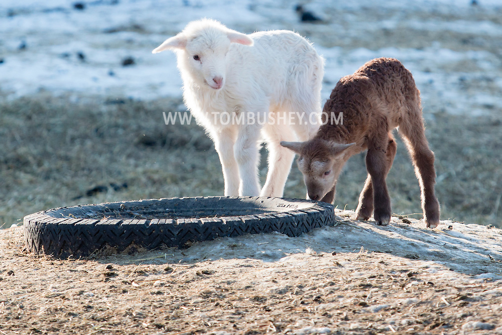 Goshen, New York - Two lambs at Banbury Cross Farm on Feb. 20, 2015.
