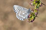 Glaucopsyche piasus excubita - Arrowhead Blue