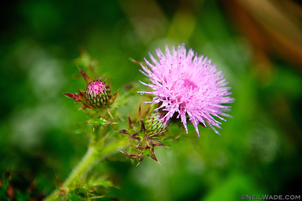 Thistle grows in Yangming Shan National Park in Taipei, Taiwan.