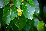 Milo tree, Hanalei, Kauai, Hawaii