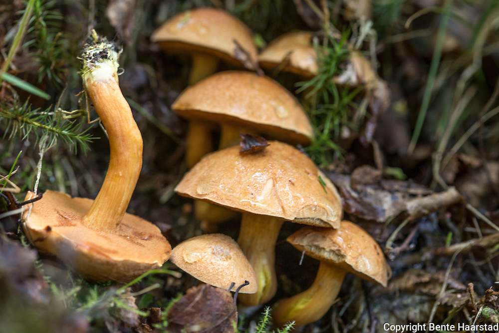 "seig kusopp, Suillus bovinus. Hatt 4-10 cm, hvelvet til utbredt. Brungul, ofte mange tett sammen. Litt nedløpende rørlag, grågult med oliven tone. Kantete rørmunninger, rør ""inni"" rørene. Gulbrun stilk. Ved furu. Spiselig. Skal være ekstra god tørket, og gir meget godt soppmel med mye aroma. Also known as the Jersey cow mushroom or bovine bolete, is a pored mushroom of the genus Suillus in the family Suillaceae. A common fungus native to Europe and Asia, it has been introduced to North America and Australia. The fruit body—colloquially called a mushroom, of Suillus bovinus is smaller and daintier than most other boletes. The cap is initially convex, then flat with a wavy margin and a grey-yellow or ochre with pink tinge in some specimens. It ranges from 3–10 cm and has a sticky skin. The flesh is whitish, yellowish or clay-coloured and has a fruity smell. Sometimes turning a pink tinge when bruised."