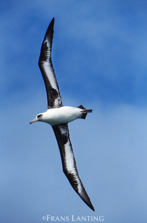 Laysan albatross in flight, Phoebastria immutabilis, Hawaiian Leeward Islands