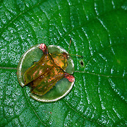Clear-shelled Tortoise Leaf Beetle, Aspidomorpha sp.