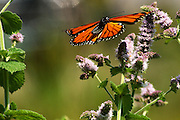 monarch butterfly flying to nectar in peru,vermont during fall no property release