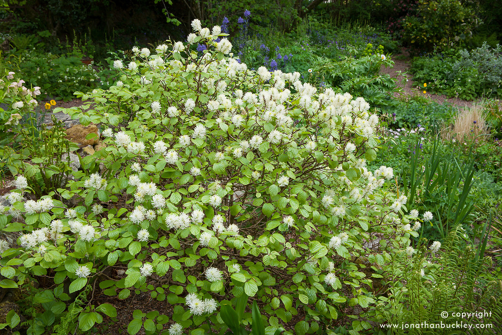 Fothergilla major Monticola Group AGM syn. Fothergilla monticola. Mountain witch alder.