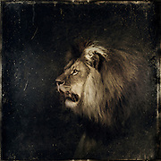 Male lion - vvintage processing<br />