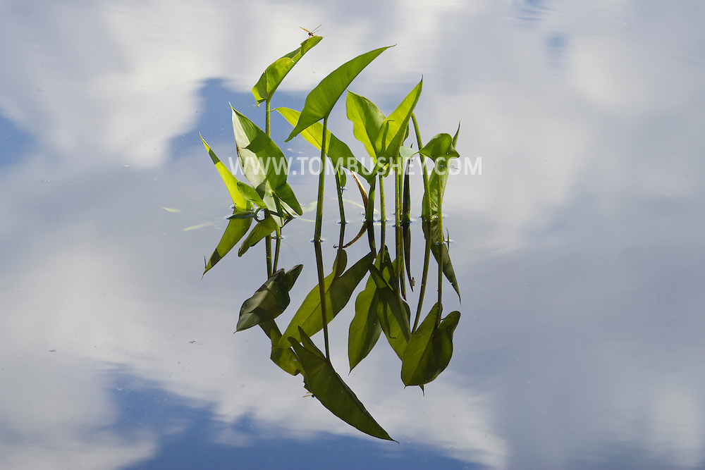Florida, New York -  Pickerelweed and clouds reflections in Glenmere Lake on June 22, 2014.