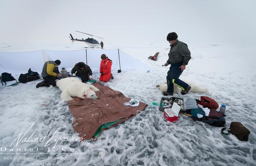 The polar bear capture team collects data from a female polar bear and her cub. Arctic Ocean
