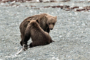 Brown bear cubs play along the beach at the McNeil River State Game Sanctuary on the Kenai Peninsula, Alaska. The remote site is accessed only with a special permit and is the world's largest seasonal population of brown bears in their natural environment.