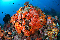 Bunaken Marine Park is a very popular dive destination, famous for its beautiful coral reefs, marine biodiversity and vertical walls.  Further north, at Bangka, the reefs are covered in spectacular soft corals that thrive in the strong currents that are typical for the area.