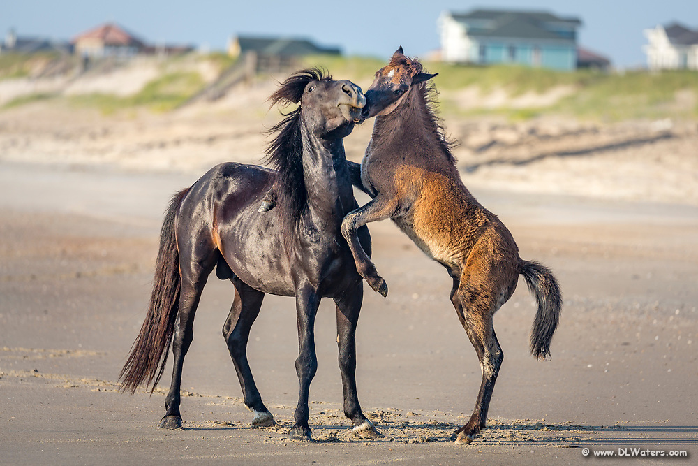 A wild stallion and his colt horsing around on the beach in Crova, Outer Banks NC.