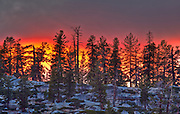 vibrant sunset in yosemite high country illuminating pine trees standing on a ridge, looks something like a forest fire.