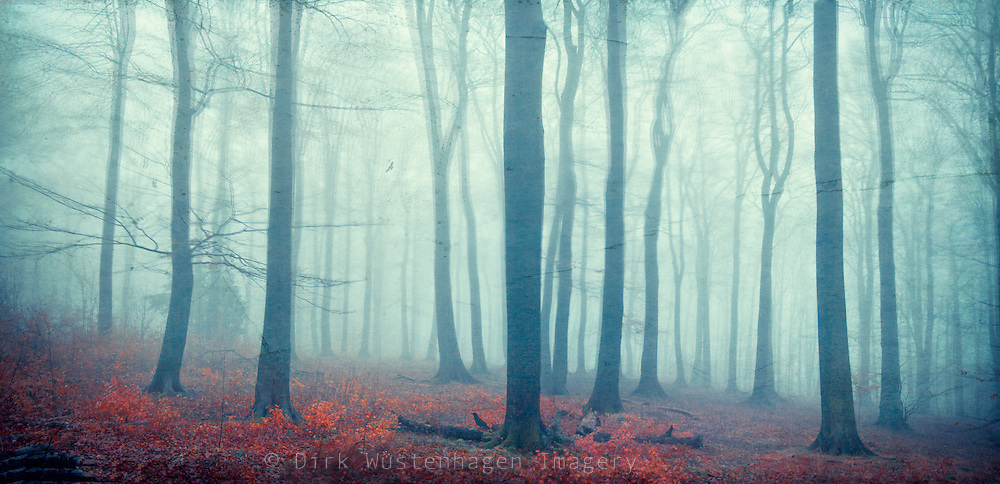Panorama of a beech tree forest shrouded in fog.<br />