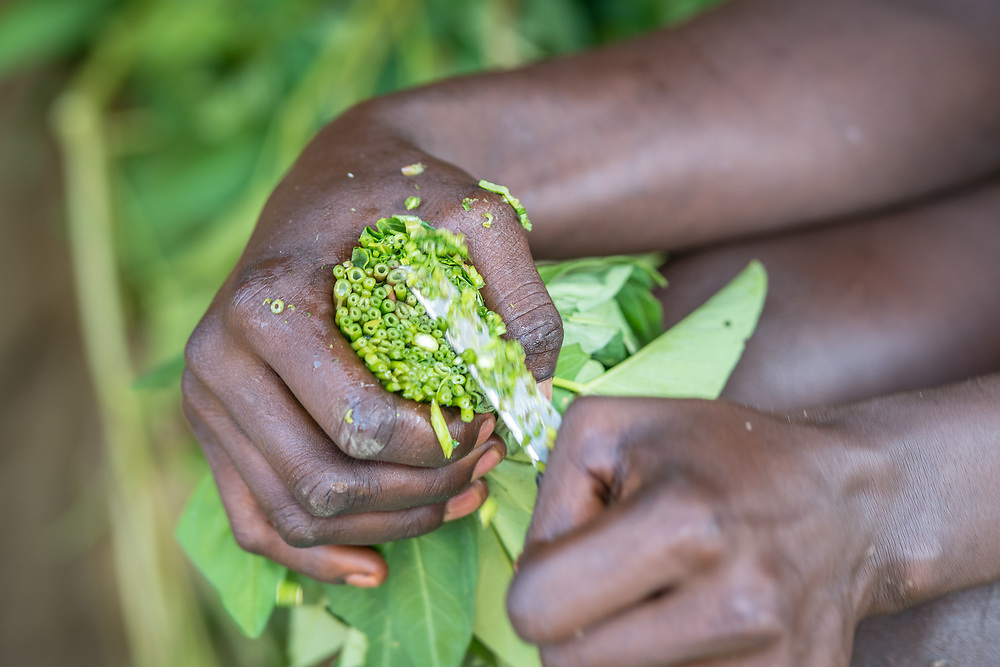 Close up of greens being chopped into a bowl in preparation for a meal in Ganta, LiberiaGanta, Liberia