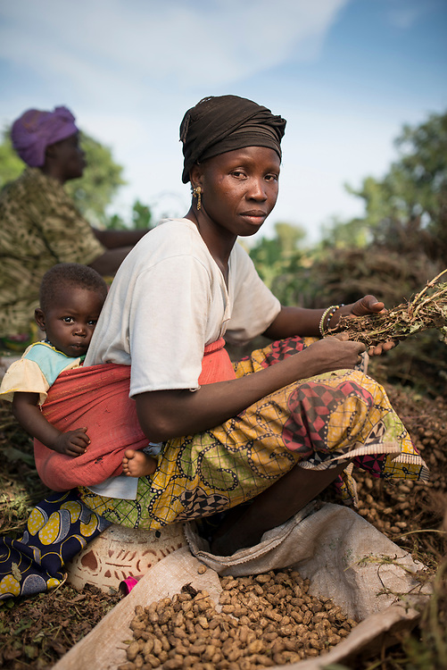 Mariama Keita with her baby harvesting groundnuts (peanuts) in Siby Mali .