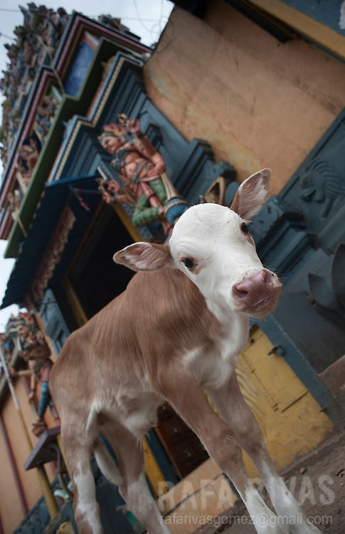 A calf stands in front of a Kovil (temple) in Rakwana, Sri Lanka, on February 28, 2011.