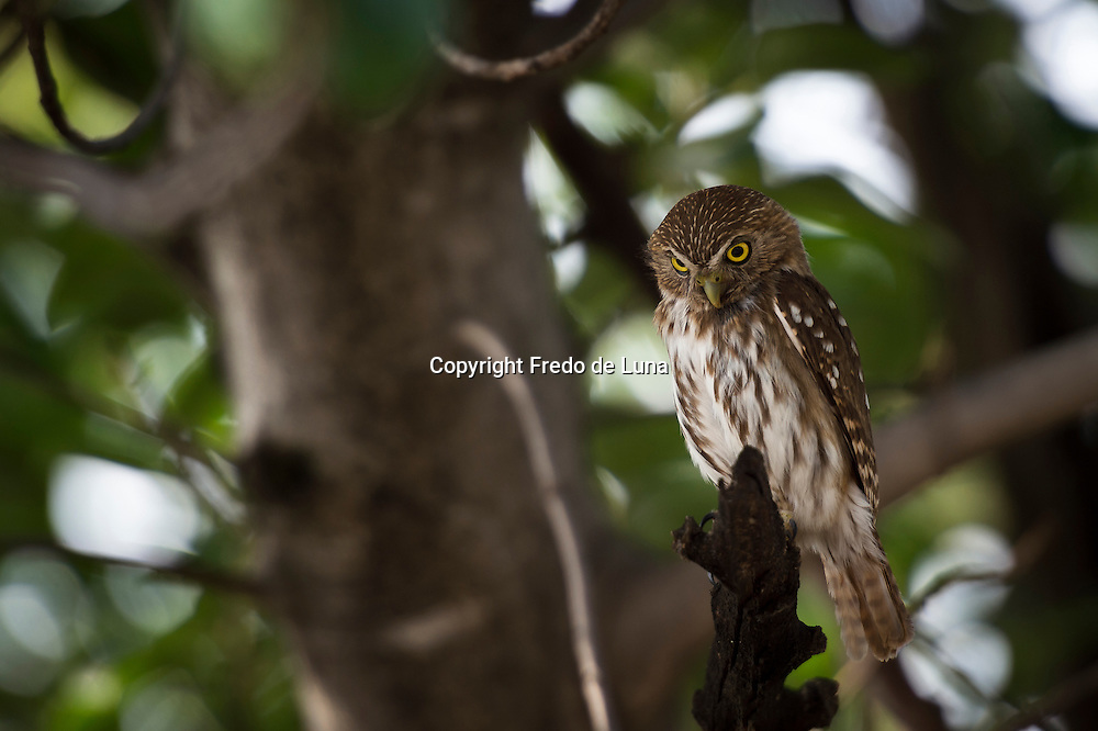 The Tamaulipas pygmy owl (Glaucidium sanchezi) is a species of owl in the Strigidae family. It is endemic to Mexico. This is one of the smallest owls in the world at a mean length of 13.5 centimetres (5.3 in). However, at 53 grams (1.9 oz), it is slightly heavier than the long-whiskered owlet and the elf owl.Its natural habitat is subtropical or tropical moist montane forests.
