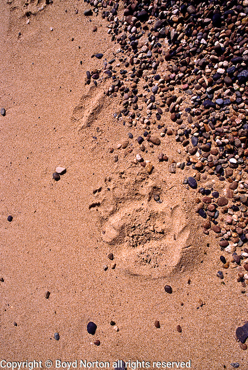 Brown bear tracks, shoreline, Barguzin Zapovednik (Nature Reserve), Lake Baikal. The Barguzin is Russia's oldest Nature Reserve. Lake Baikal is the oldest (25 million years), deepest (5700 feet) and largest lake in the world by volume(it holds 20% of the earth's liquid fresh water). Threatened by pollution and most recently by an oil pipeline, Baikal has become a rallying point for Russian and international conservationists. Baikal was declared a World Heritage Site in 1996. Boyd Norton, the photographer here, worked with Russian and U.S. environmentalists to get Baikal designated a World Heritage Site.