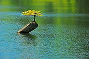 Coniferous sapling on nurse log in Fairy Lake, Near Port Renfrew, British Columbia, Canada