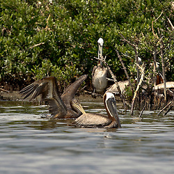 A oil soaked Brown Pelican struggles to fly at Cat Island off the coast of Louisiana on Thursday, June 17 2010. Oil from the Deepwater Horizon spill continues to impact areas across the coast of gulf states.