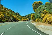 Malibu, CA, Kanan-Dume Road, Bright Yellow Cluster flower bushes,