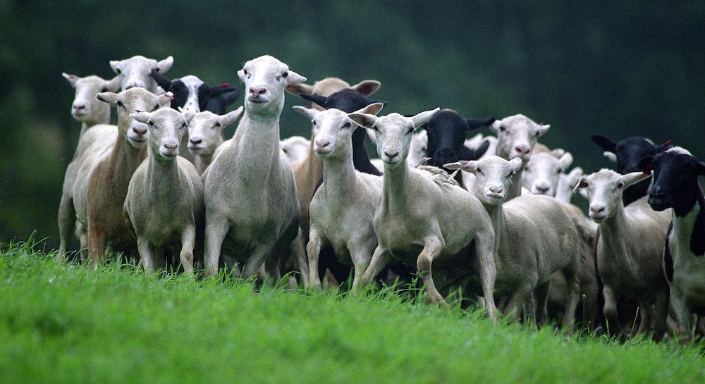 A flock of Katahdin sheep run across the pasture during a sheep dog trial held at Steve Wetmore's farm in Strafford, Vt., on August 29, 2004. Flock owner Allan Lynch of Turbotville, Penn., raises the breed for meat because of their mild taste and ease of butchering. Katahdins have fur instead of wool. (Photo by Geoff Hansen)