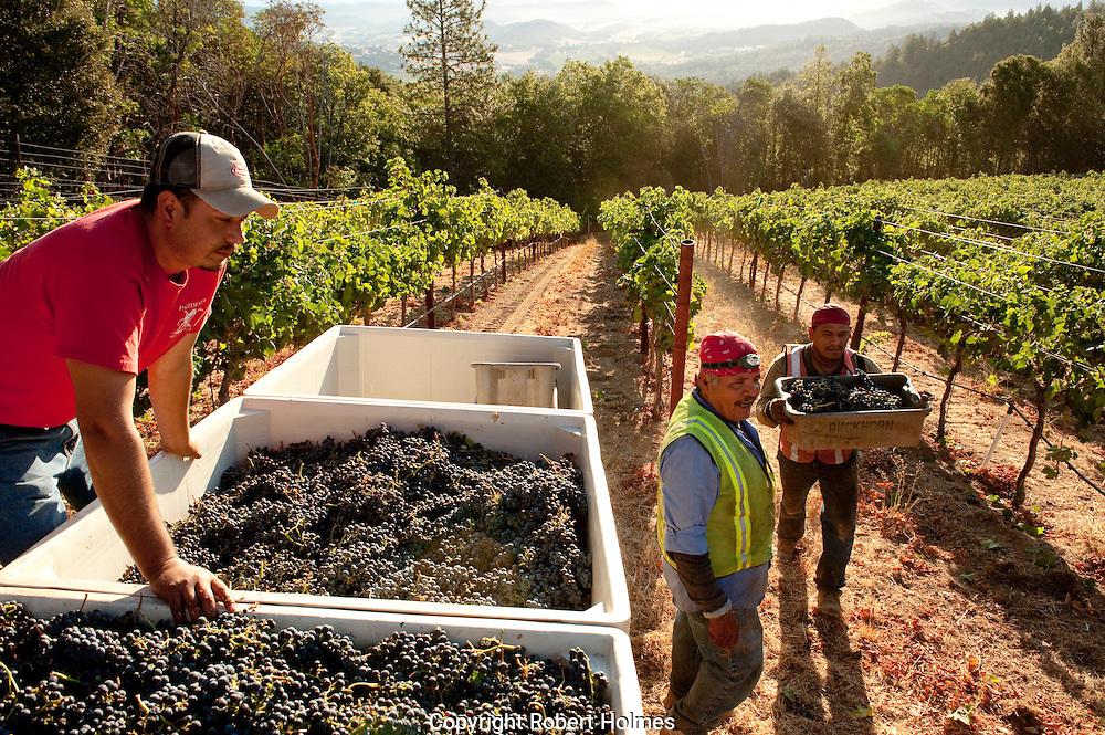 Merlot harvest at Candlestick vineyard, Angwin, Napa Valley