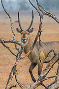 A waterbuck, framed by branches, grazes on the floodplains of Gorongosa National Park, Mozambique