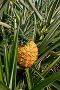 Ripe MD2 variety pineapple on plant.