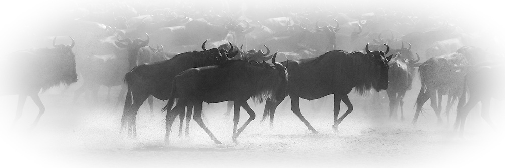 Blue Wildebeest, aka Brindled Gnue, White-bearded Wildebeest (Connochaetes Taurinus)<br />