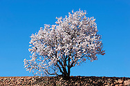 Almond tree in full blossom in the Ounila Valley, Morocco.