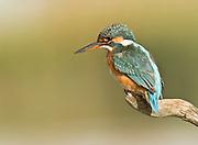 Common Kingfisher, Alcedo atthis, AKA Eurasian Kingfisher or River Kingfisher Israel October