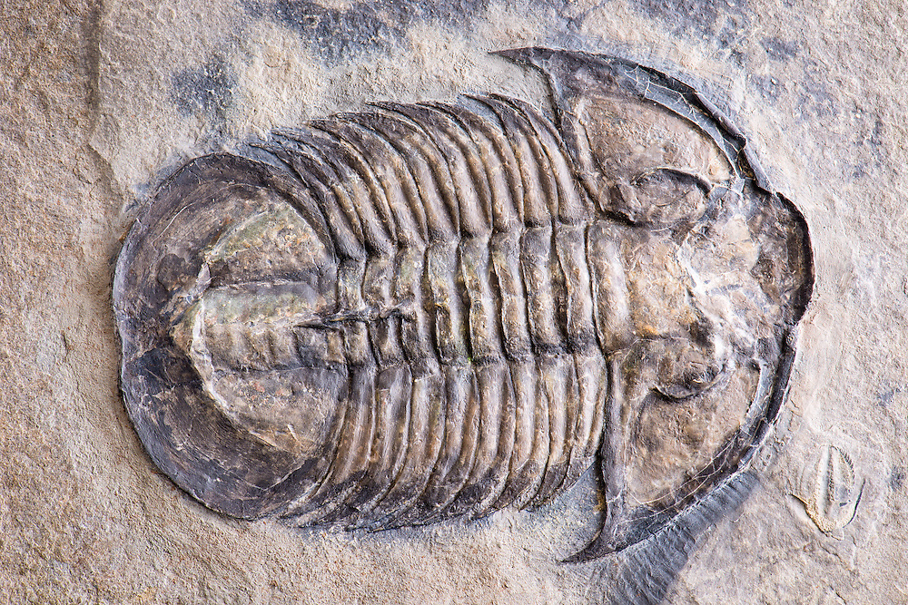 This is a magnificent specimen of one of the largest corynexochid trilobites (sagittal length: 110mm) from the Middle Cambrian Spence Shale strata of Utah. It is the only known example of Glossopleura gigantea with the axial spines on the posterior three segments.