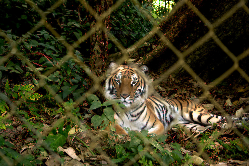 Relaxing tiger seen through the chain link fence of its enclosure at Kuang Si Falls, park near Luang Prabang, Laos.  Tiger is a rescue animal raised from cubhood by the park personnel, which solicits contributions from park visitors to buy its food.