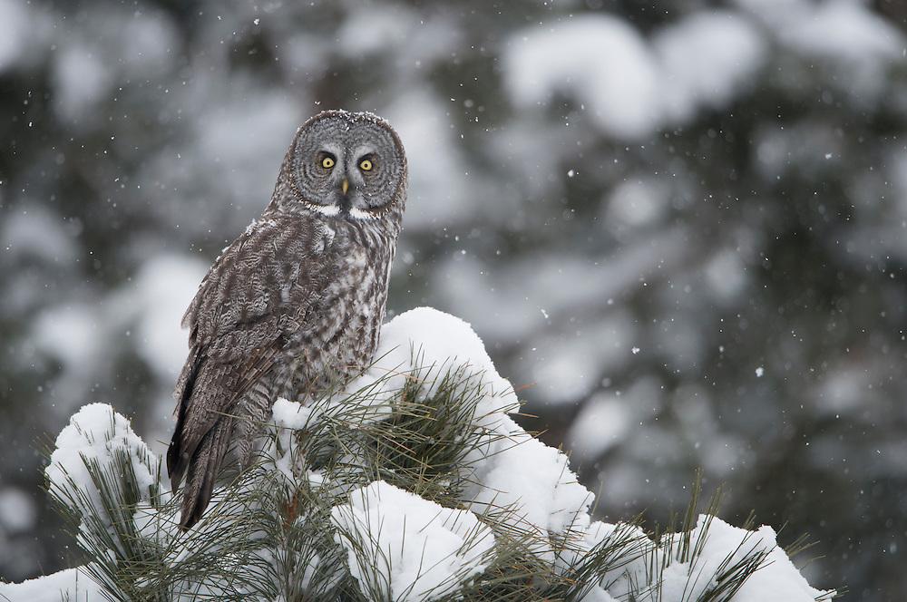 Great Gray Owl (Strix nebulosa), Missoula, Montana