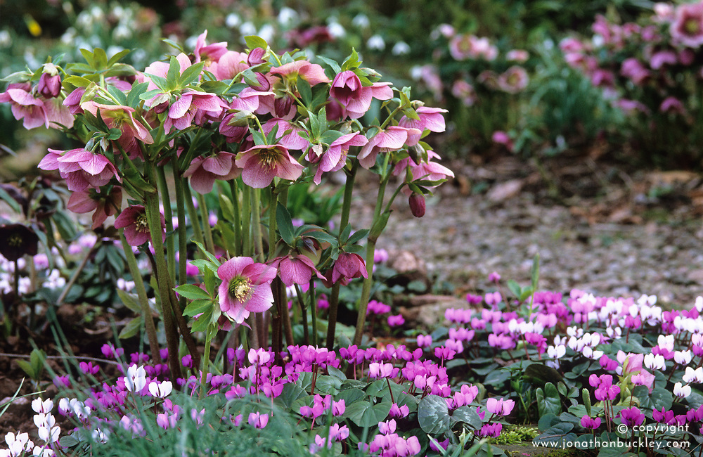 Helleborus x hybridus 'Ashwood Garden Hybrids' with Cyclamen coum in Veronica Cross's garden