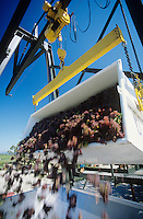 Wine grapes unloading into crusherYarra Valley Victoria Australia